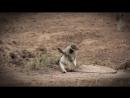 Женские секреты приматов: 8 марта, скрытая овуляция, инверсия доминирования